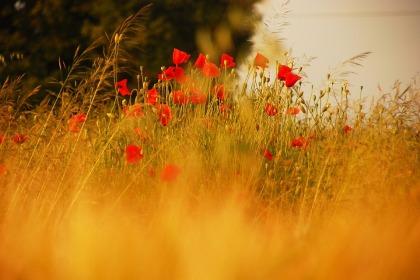 grassandpoppies-vitaylor