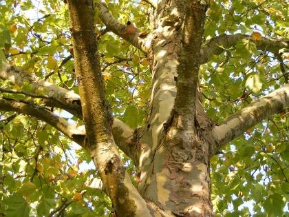 plane-tree-511483_960_720