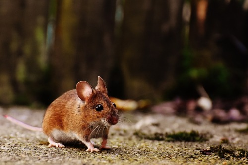 mouse-1708347_960_720