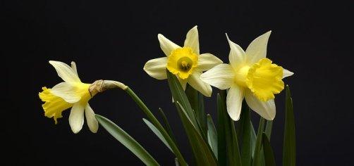 daffodils-2139768__340.jpg
