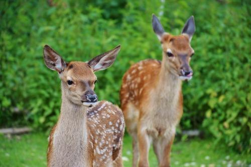 roe-deer-1482712_960_720.jpg