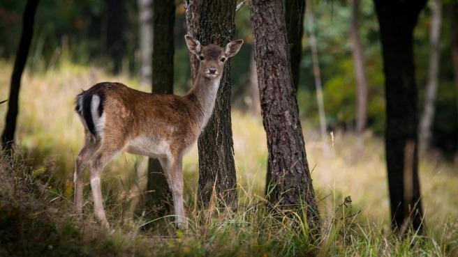 fallow-deer-984576_1280
