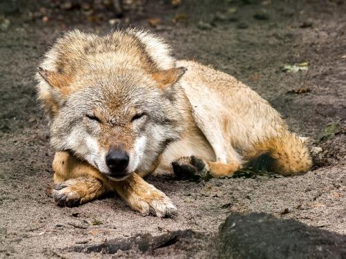 wolf-2408477_1280