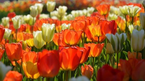 tulips-3251581_1280.jpg