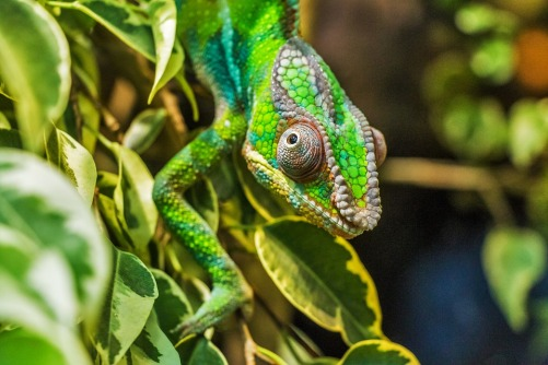 chameleon-384957_960_720.jpg